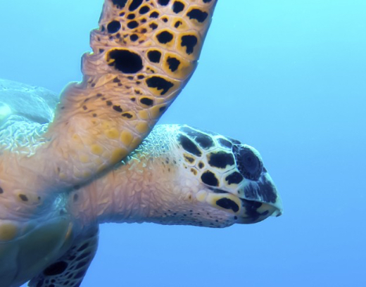 Scuba dive with sea turtles